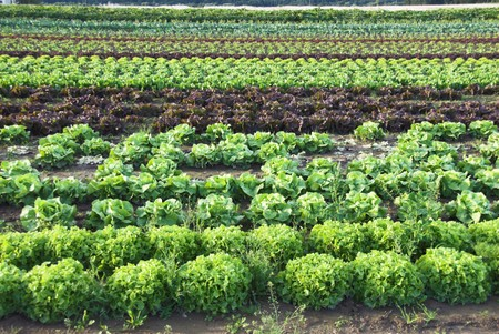 Lettuces on Organic Farm