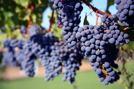 Ripe Merlot Grapes